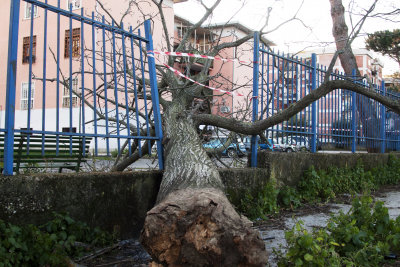 Fallen tree seen from another angle with its mighty force destroys an iron fence
